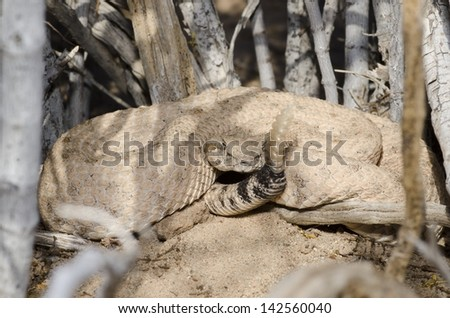 A Colorado Desert Sidewinder in a defensive posture at the base of a bush. - stock photo