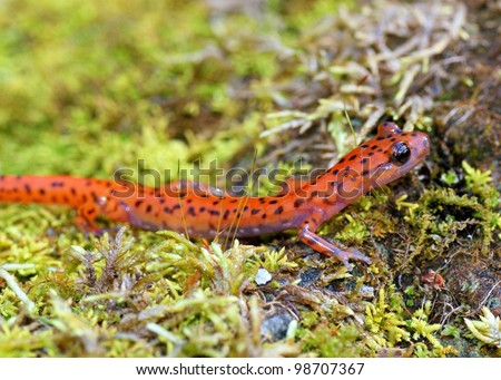 A colorful amphibian, the bright orange Cave Salamander, Eurycea lucifuga crawling on green moss covered rocks