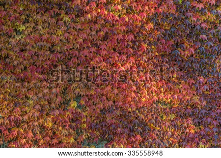 A colorful background made of vine leaves in various shades of yellow and red - stock photo