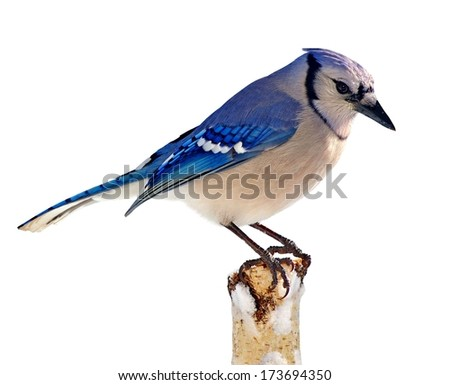 A colorful Bluejay (Cyanocitta cristata) on a snowy birch stump isolated on a white background. - stock photo