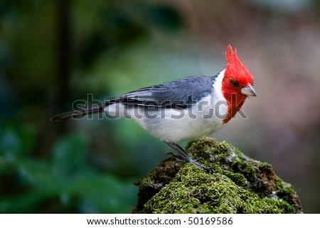 A colorful Brazilian Cardinal, photographed in Hawaii - stock photo