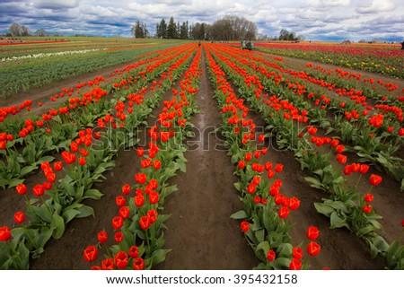 A colorful field of red tulips in Oregon in springtime - stock photo
