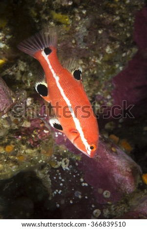 A colorful juvenile sheephead swims near a protective reef where it seeks refuge and safety from predators.  - stock photo