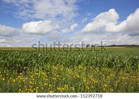 a colorful maize field in the yorkshire wolds england with yellow wildflowers in the foreground under a blue cloudy sky in summer - stock photo