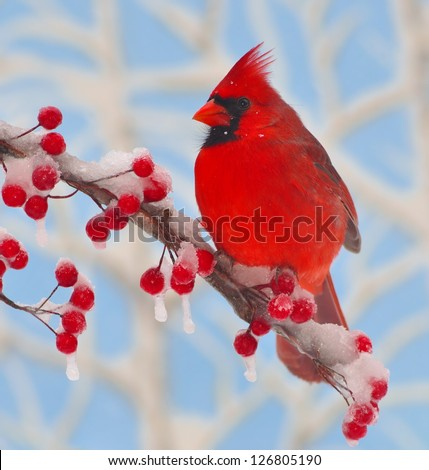 A colorful male Northern Cardinal (Cardinalis cardinalis) on a snow- covered branch full of bright red berries. - stock photo