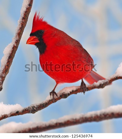 A colorful male Northern Cardinal (Cardinalis cardinalis) on a snowy branch with blue sky in the background. - stock photo