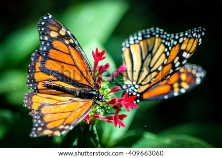 A colorful Monarch Danaus Plexippus butterfly. - stock photo