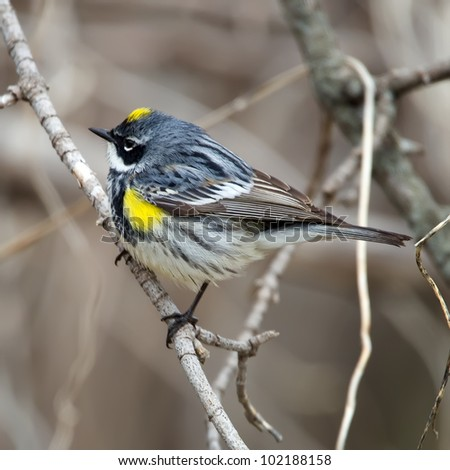 A colorful Myrtle Warbler perched on a branch. - stock photo