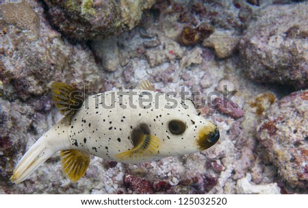 A colorful puffer fish while scuba diving in Maldives - stock photo