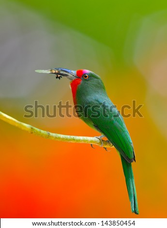 A colorful Red-bearded Bee-eater with cicada for its chicks, standing on a branch