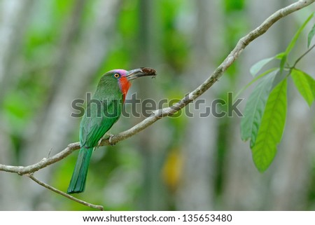 A colorful Red-Bearded Bee-eater with cicada for its chicks, standing on a branch at Kaeng Krachan National Park Thailand.