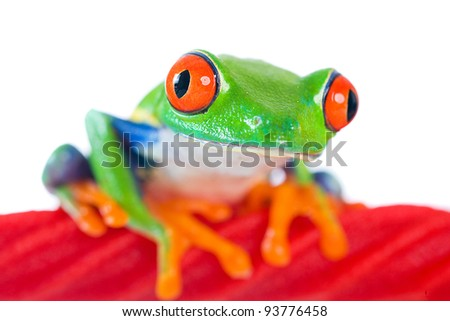 A colorful red eyed tree frog sitting on a red licorice rope.