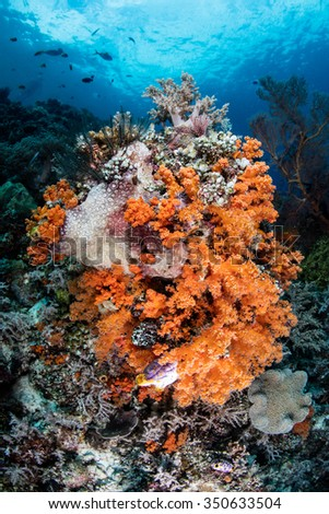 A colorful set of soft corals grows on a dropoff in Raja Ampat, Indonesia. This tropical region is known for its incredible marine biodiversity and exceptional diving and snorkeling opportunities.