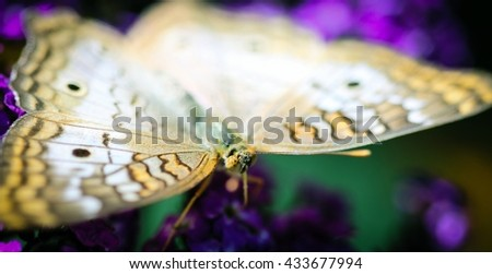 A colorful White Peacock Anartia Jatrophae butterfly. - stock photo
