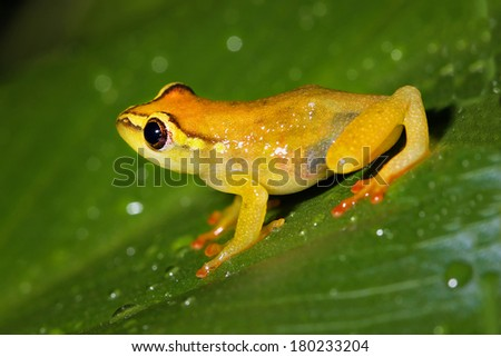 A colourful yellow frog in the Usambara Mountains of Tanzania, Africa. - stock photo