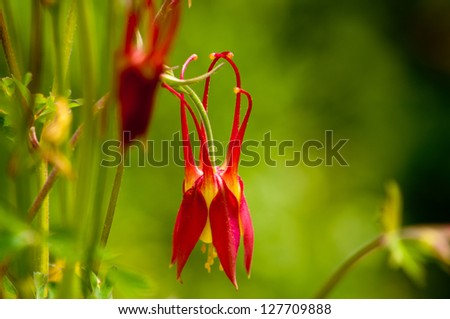A columbine bloom droops in th emorning shade. - stock photo