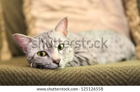 A comfortable Egyptian Mau cat relaxes on a couch.  Shallow depth of field is focused on the eyes