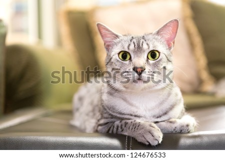 A comfortable Egyptian Mau cat relaxes on a leather ottoman.  Shallow depth of field is focused on the eyes