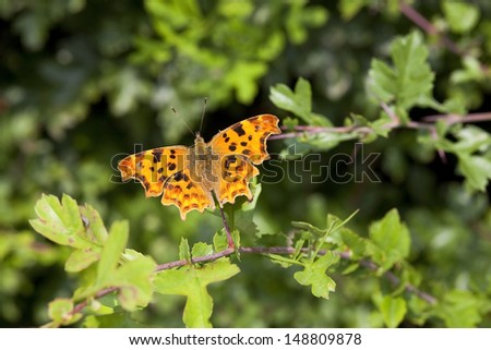 a comma butterfly latin name polygonia c album resting on an oak leaf in summer - stock photo