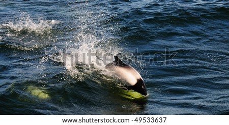 A Commerson's Dolphin leaping out of a wave - Falkland Islands - stock photo