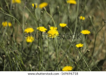 A common Australian pasture weed  Common Sow thistle  Asteraceae Sonchus oleraceus  has pretty double yellow flowers in spring to summer with fluffy thistle head seeds forming after the petals all.  - stock photo