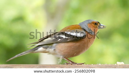 A Common Chaffinch at  the park  - stock photo