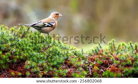 A Common Chaffinch in the garden - stock photo