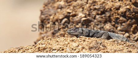 A common Chuckwalla Lizard suns itself on a rock in Red Rock Canyon State Park, Nevada.
