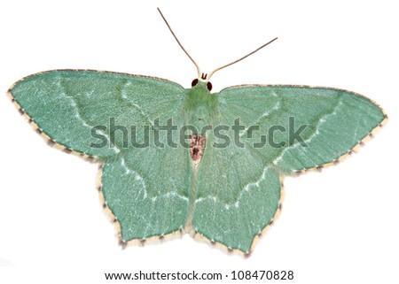 A Common Emerald, Hemithea aestivaria isolated on white - stock photo