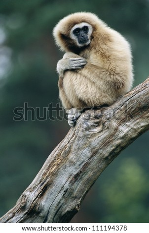 A common gibbon sitting on tree