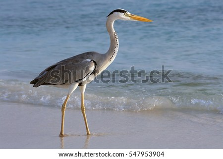 A common heron is on the beach on food search