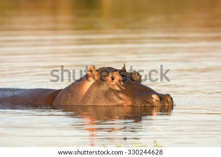 A common hippopotamus in the water at a watering hole in Kruger National Park, South Africa - stock photo