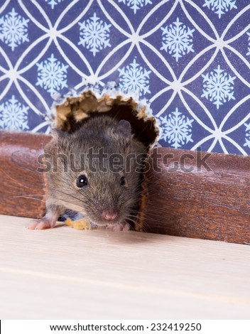 A Common house mouse (Mus musculus) looks out from a hole in the wall - stock photo
