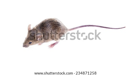 A Common house mouse (Mus musculus) on a white background - stock photo