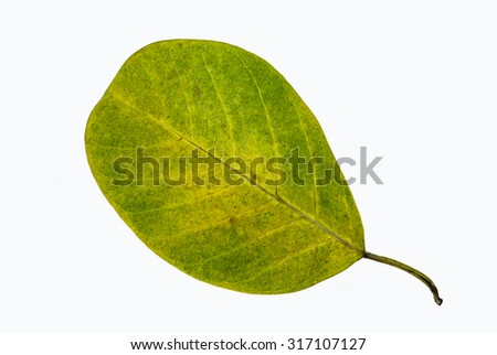 A common leaf
