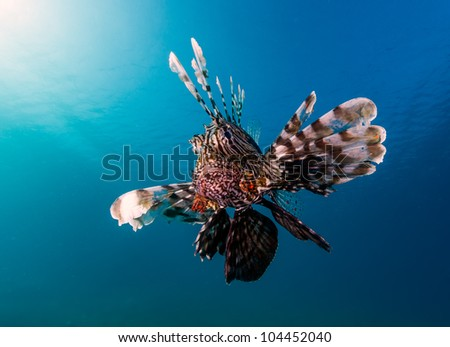 A common lionfish with the sun and blue water behind looks angrily at the camera in the Egyptian Red Sea resort of Nuweiba - stock photo