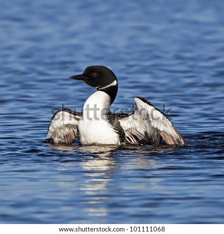 A Common Loon in breeding adult colors flaring its wings while swimming in a pond.