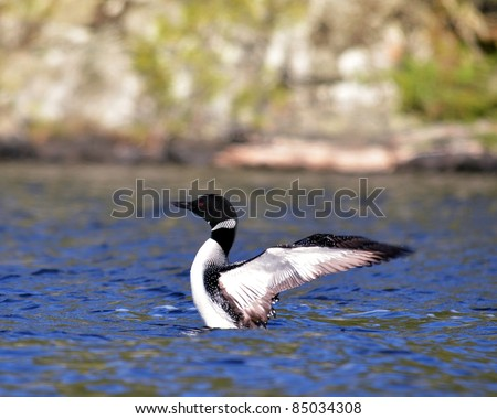 A Common Loon living on Horwood Lake in Northern Ontario Canada - stock photo