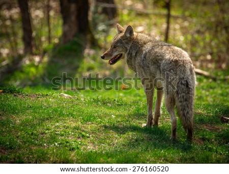 A common North American coyote ( Canis Latrans) captured from the rear and looking to the left. - stock photo