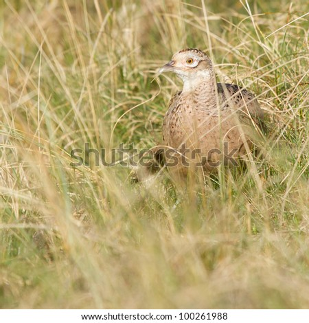 A common Pheasant in it's natural habitat - stock photo