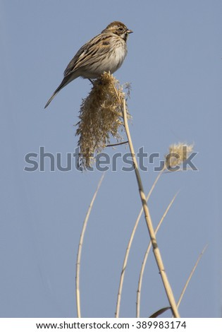 A Common Reed Bunting (Emberiza schoeniclus) female - stock photo