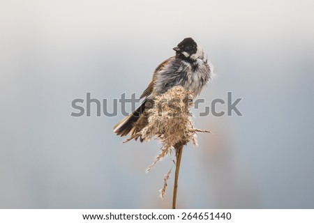 A common reed bunting Emberiza schoeniclus sings a song on a reed plume Phragmites australis. The reed beds waving due to strong winds in Spring season on a cloudy day. - stock photo
