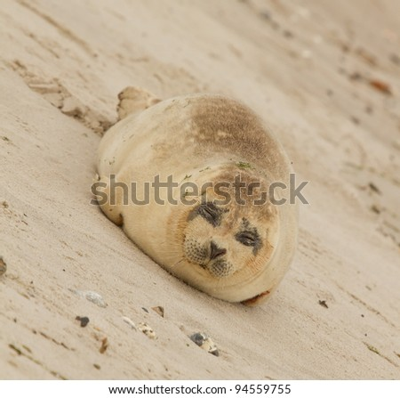 A common seal is resting on the beach - stock photo