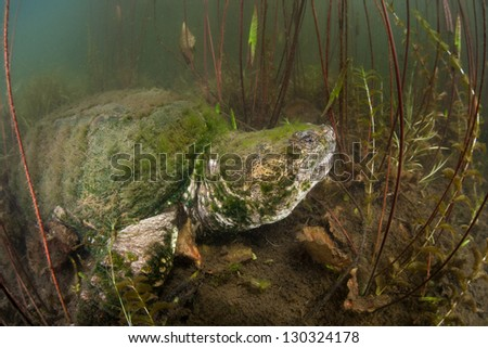 A Common snapping turtle (Chelydra serpentina) crawls amid the muck and vegetation of a freshwater pond on Cape Cod, Massachusetts.  This species has a belligerent disposition. - stock photo