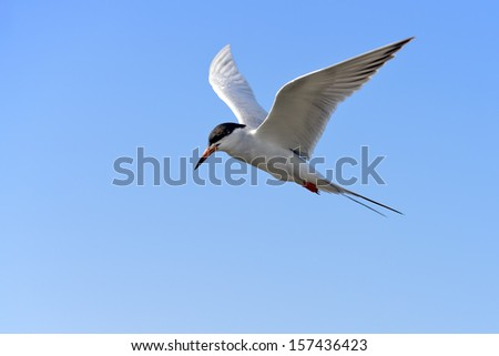 A common tern in flight on a clear sky.