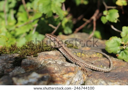 A common wall lizard (podarcis muralis) basking in the sun. These lizards are also known as European wall lizard and can grow to about 20 cm (7.9 in) in total length. - stock photo