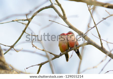 A common waxbill couple on a tree branch (looks like they're kissing) - stock photo