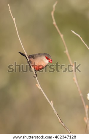 A Common Waxbill (Estrilda astrild) also known as St. Helena Waxbill perched on a thin stem, against a blurred natural background, Andalusia, Spain - stock photo