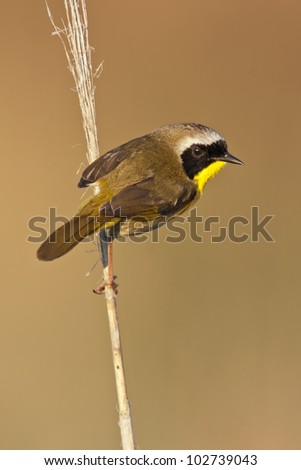 A Common Yellowthroat looking at the viewer from a perch.