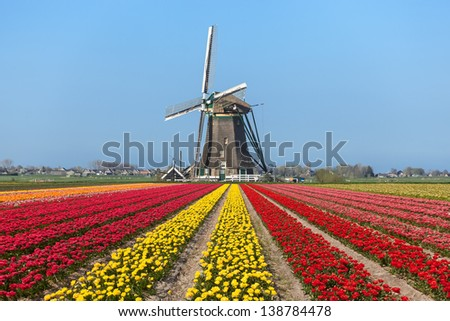 A composition of a typical Dutch landscape  of a field blooming tulips with  in the Center a windmill in the background against a bright blue sky - stock photo